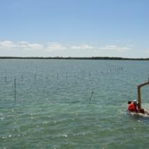 Seagrass_restoration (4)
